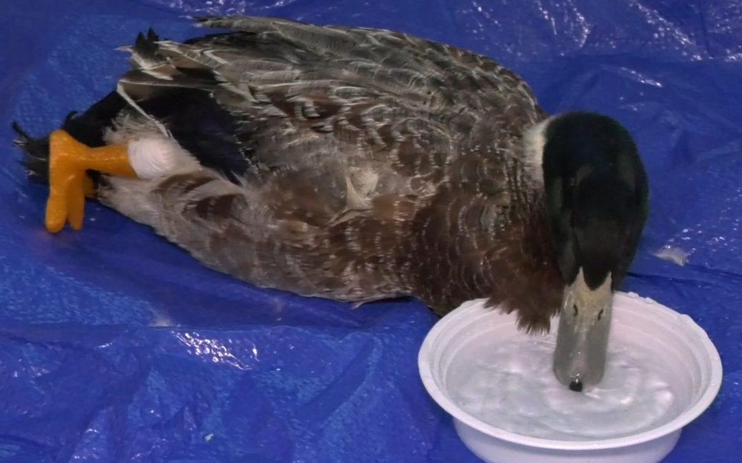RA students meet Stumpy the duck